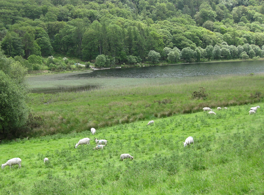 Glendalough Sheep