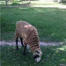 Goat at Les Manguiers